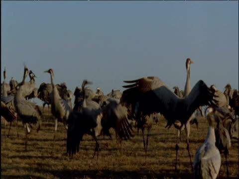 flock of cranes dances in marsh at sunset - eurasischer kranich stock-videos und b-roll-filmmaterial