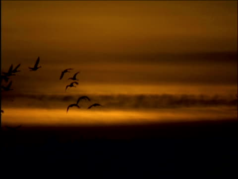 flock of cranes fly across sunset sky - クロヅル点の映像素材/bロール