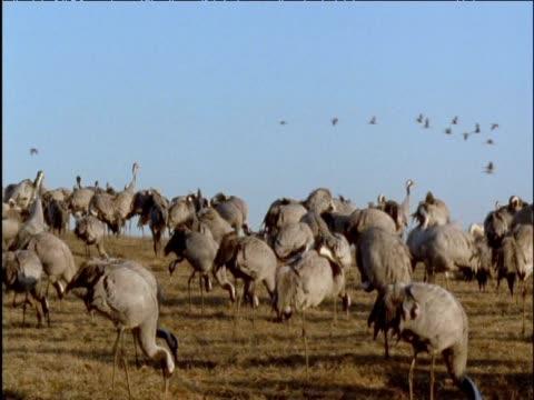 flock of cranes forage in field - クロヅル点の映像素材/bロール