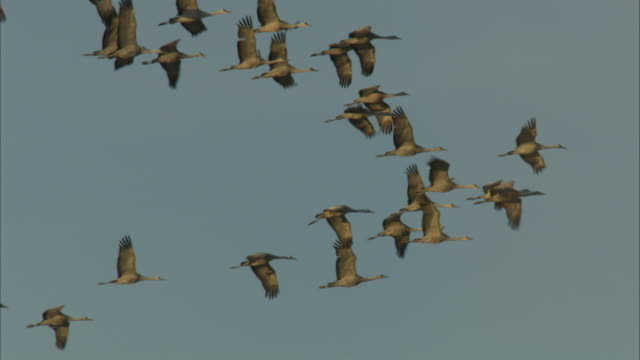 flock of cranes in flight - vogelschwarm stock-videos und b-roll-filmmaterial