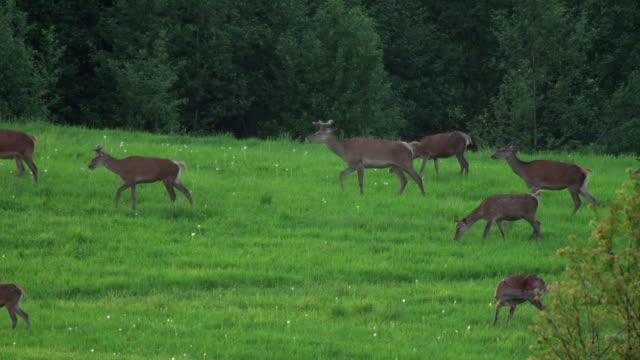 flock of deers - herd stock videos & royalty-free footage
