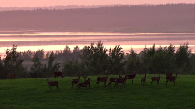 vidéos et rushes de troupeau de deers - troupeau de moutons