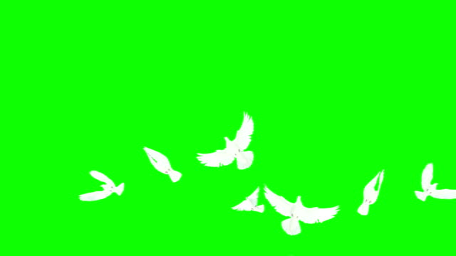Flock Of Doves On Chroma Key (Super Slow Motion)