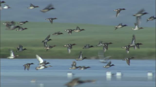 Flock of ducks fly over lake, Bayanbulak grasslands.