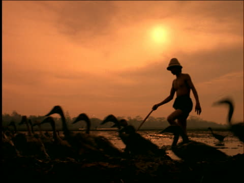 vídeos de stock e filmes b-roll de flock of ducks followed by men walking in rice paddies / sun in background / indonesia / orange filter - organismo aquático