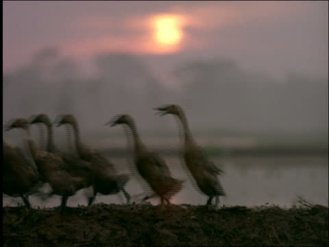 Flock of ducks followed by men walking past camera in rice paddies at sunset / Indonesia