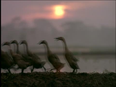 vídeos de stock e filmes b-roll de flock of ducks followed by men walking past camera in rice paddies at sunset / indonesia - organismo aquático