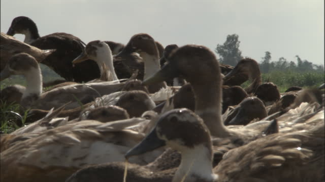 vidéos et rushes de flock of ducks herded out of paddy field, varanasi available in hd. - canard oiseau aquatique