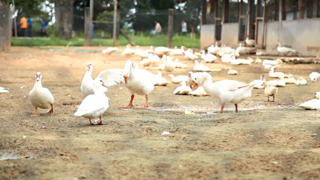 flock of ducks in the cage. - goose meat stock videos and b-roll footage