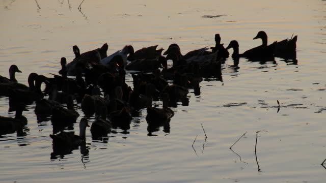 vidéos et rushes de un troupeau de canards dans l'eau du soir. - canard oiseau aquatique