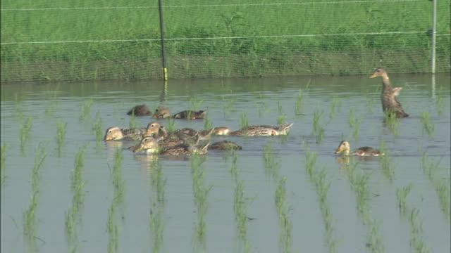 a flock of ducks/ side: medium shot - 鳥 カモ点の映像素材/bロール