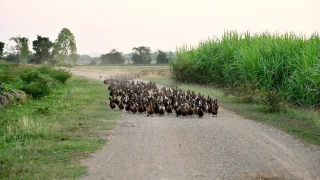 flock of ducks was herding back to stall on dirt road - duck stock videos & royalty-free footage