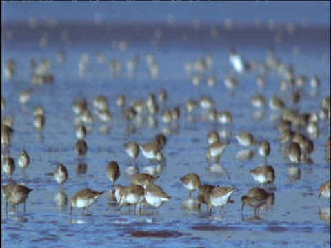 flock of dunlin forage on mud flats - apparato digerente animale video stock e b–roll