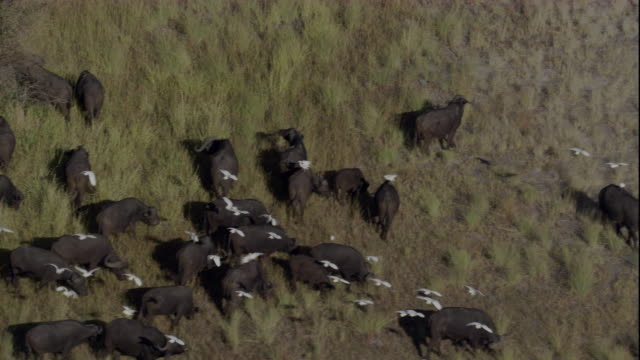 a flock of egrets lands among a herd of cape buffalo. available in hd. - egret stock videos & royalty-free footage