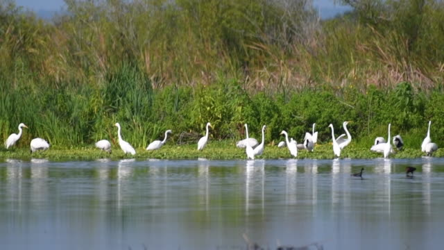 flock of egrets - egret stock videos and b-roll footage
