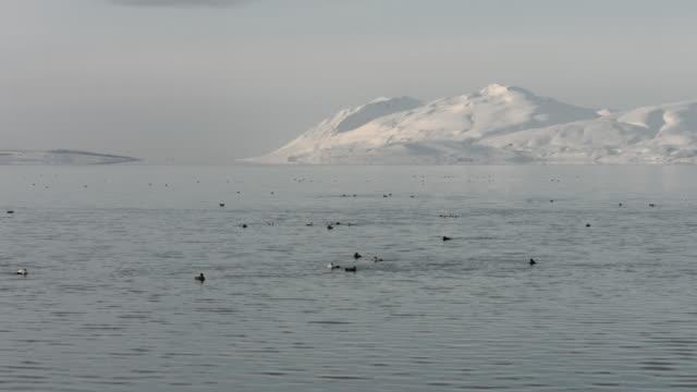 a flock of eider ducks swim off the coast of northern iceland.  - eider duck stock videos & royalty-free footage