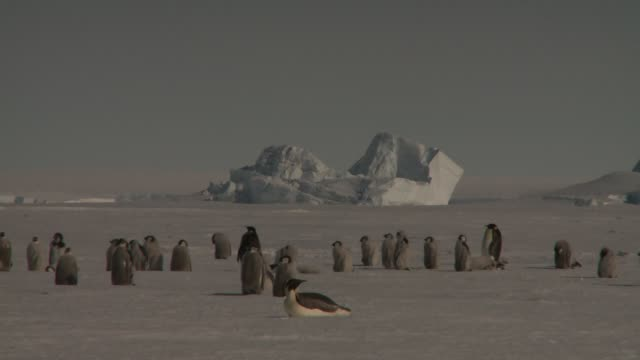 vídeos de stock e filmes b-roll de a flock of emperor penguins gathers on a vast snowfield. available in hd. - colónia grupo de animais