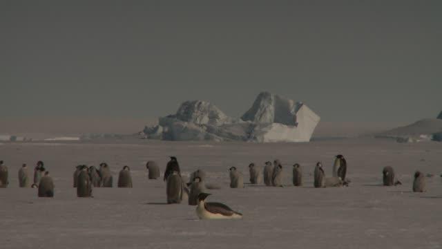 vídeos y material grabado en eventos de stock de a flock of emperor penguins gathers on a vast snowfield. available in hd. - colonia grupo de animales