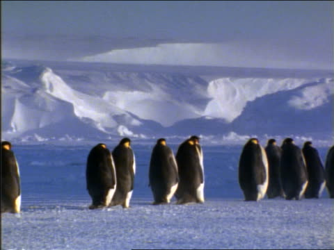 rear view flock of emperor penguins walking in line on ice - whatif点の映像素材/bロール