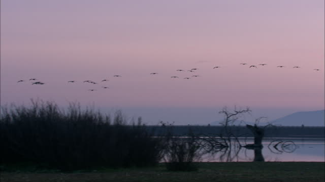 flock of european cranes (grus grus) flying over wetland at dawn, and a couple land, dehesa, extremadura, spain - formation flying stock videos & royalty-free footage