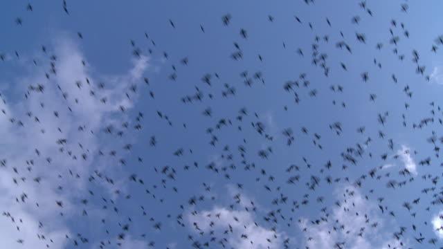 WS LA Flock of European Starlings (sturnus vulgaris) flying across sky / Morris, Illinois, USA
