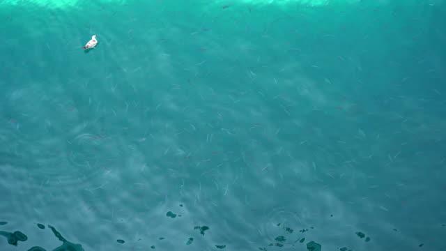 vídeos de stock, filmes e b-roll de rebanho de peixes e gaivotas no mar - gaivota