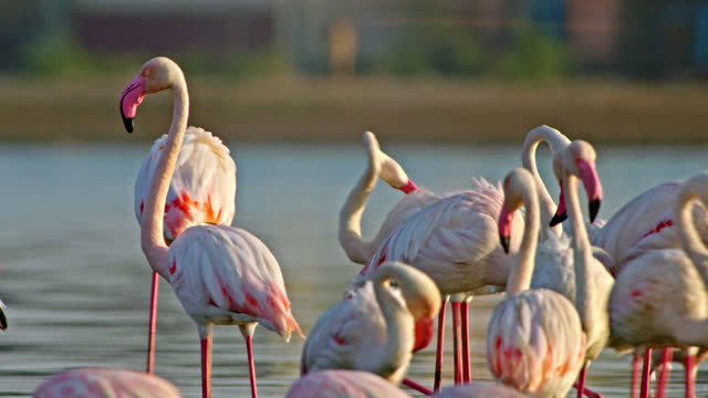 vidéos et rushes de flock of flamingo birds walking through shallow water, preening self and some of them drinking water - medium shot - medium group of animals