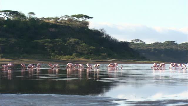 flock of flamingos at lake in serengeti national park - タンザニア点の映像素材/bロール