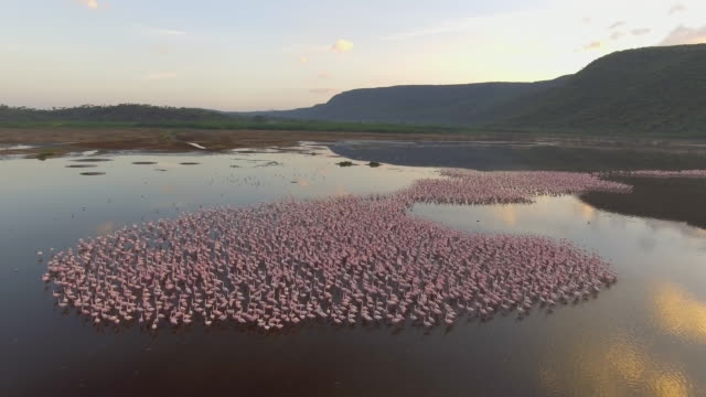 flock of flamingos at sunrise in lake bogoria, aerial view - wildlife stock videos & royalty-free footage