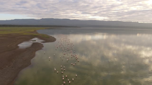 Flock of Flamingos at sunrise in Lake Elementeita, aerial view