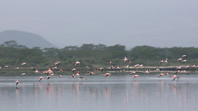 Flock of flamingos fly over lake, slow motion