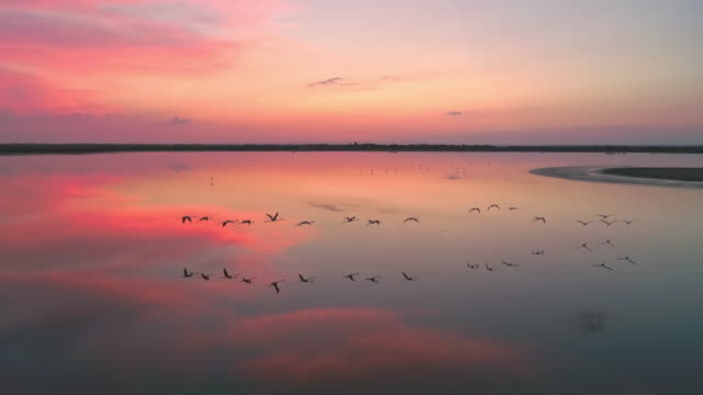 aerial flock of flamingos flying at dusk - wildlife conservation stock videos & royalty-free footage