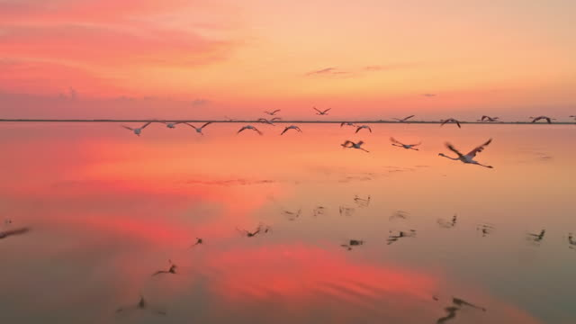 vídeos de stock e filmes b-roll de aerial slo mo flock of flamingos flying at dusk - pelicano