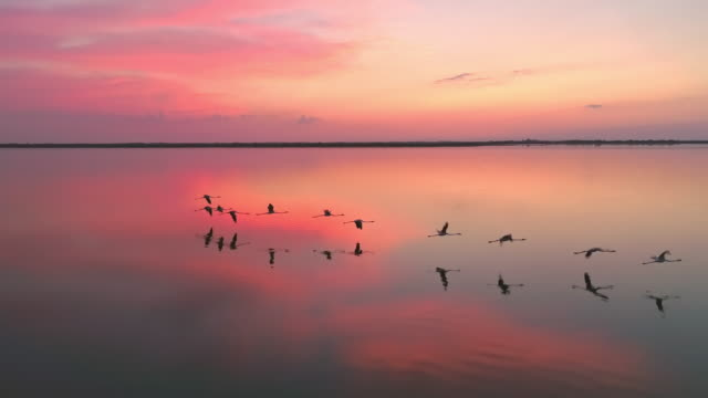 aerial flock of flamingos flying at sunset - flamingo bird stock videos & royalty-free footage