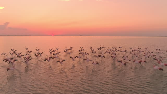 vídeos de stock e filmes b-roll de aerial slo mo flock of flamingos flying at sunset - pelicano