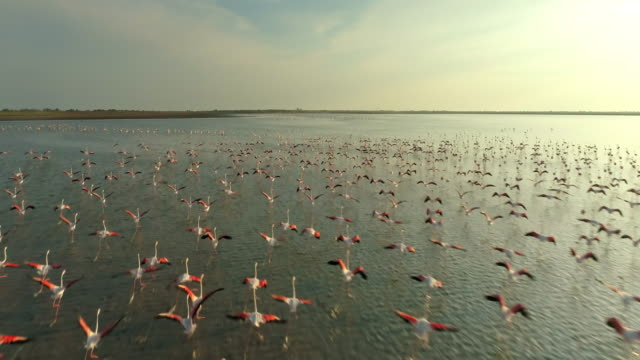 aerial slo mo flock of flamingos flying at sunset - large group of animals stock videos & royalty-free footage