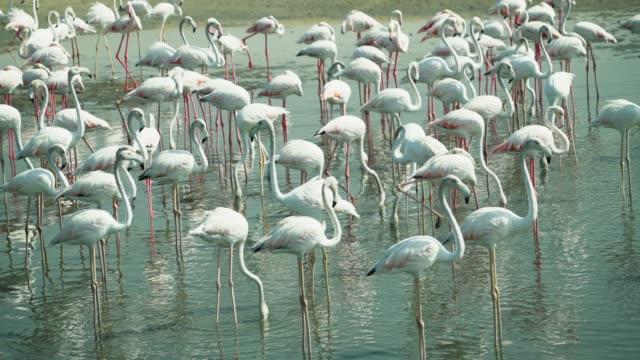 flamingos in dubai creek - flamingo stock-videos und b-roll-filmmaterial