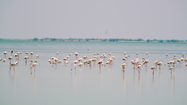 ws flock of flamingos in the lagoon - water bird stock videos & royalty-free footage
