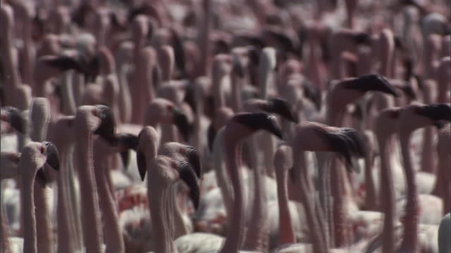 cu pan flock of flamingos running, looks like dancing / lake begonia, kenya - flamingo bird stock videos & royalty-free footage