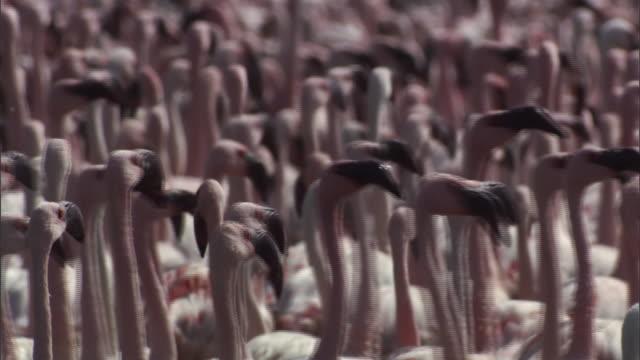 cu pan flock of flamingos running, looks like dancing / lake begonia, kenya - flamingo stock-videos und b-roll-filmmaterial
