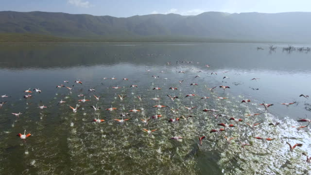 Flock of flamingos start to fly in a greenish lake