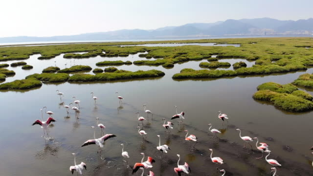 flock of flamingos - group of animals stock videos & royalty-free footage
