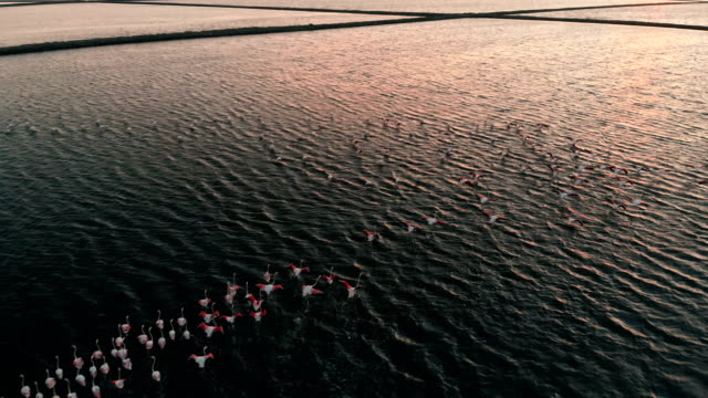 flock of flamingos - flamingo bird stock videos & royalty-free footage