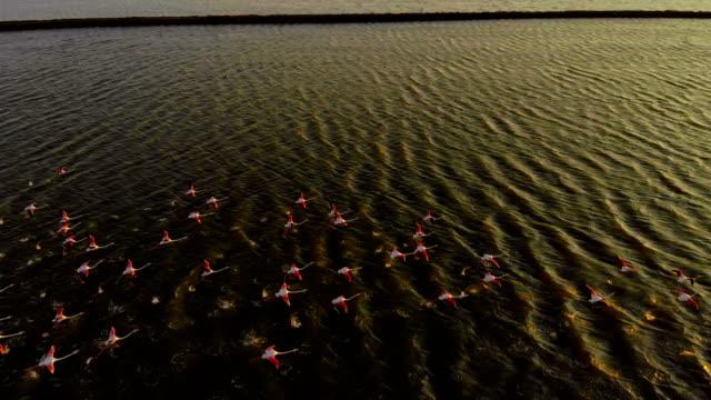 flock of flamingos - herd stock videos & royalty-free footage