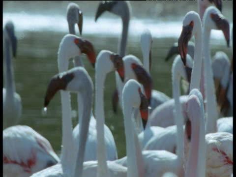 flock of flamingos wade around in soda lake, kenya - camminare nell'acqua video stock e b–roll