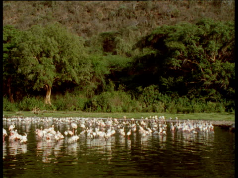 flock of flamingos wade in lake, kenya - seicht stock-videos und b-roll-filmmaterial