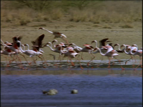 pan profile flock of flamingos walking in line in shallow water then taking off / africa - aquatisches lebewesen stock-videos und b-roll-filmmaterial
