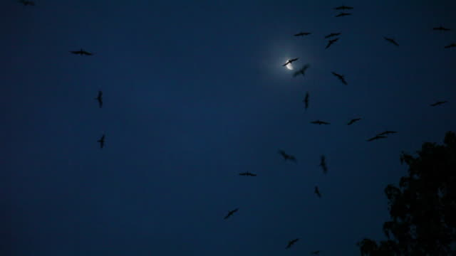Flock of Frigatebirds fly in night sky with crescent moon, wide