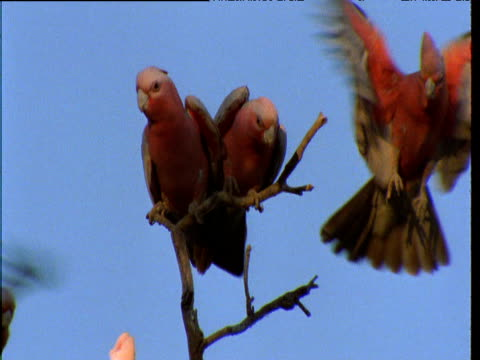 Flock of Galahs jostles for position on branch, Northern Territory, Australia