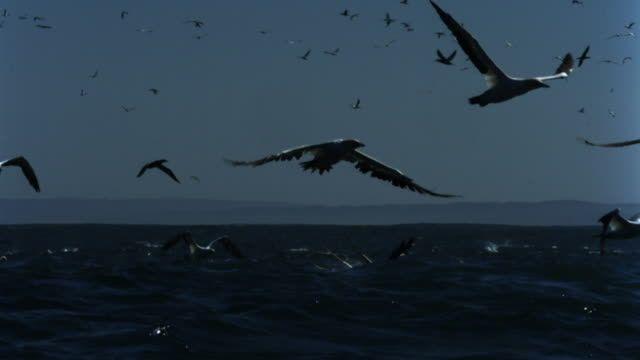 flock of gannets fly over ocean. - gannet stock videos & royalty-free footage